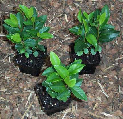 растения ардизия уход в домашних условиях
