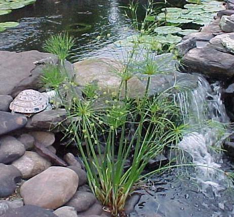 Папирус (растение): фото