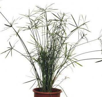 Папирус (растение), картинки