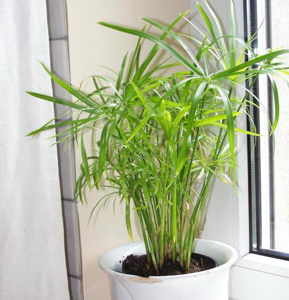 Как выглядит растение папирус