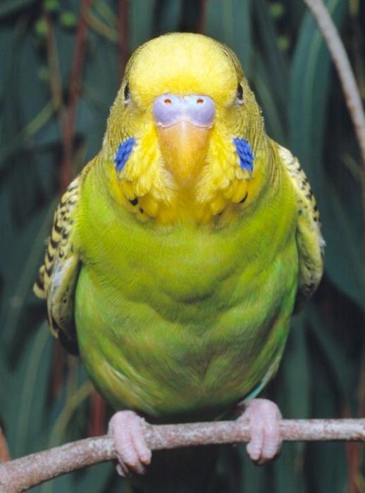 Волнистый попугай, самец.