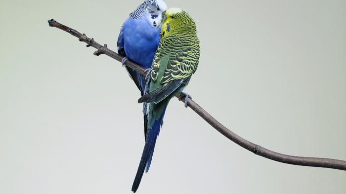 Волнистые попугаи, пара.