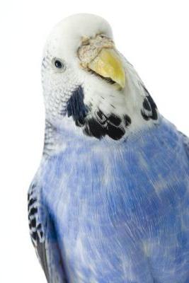 Волнистый попугай, самка.