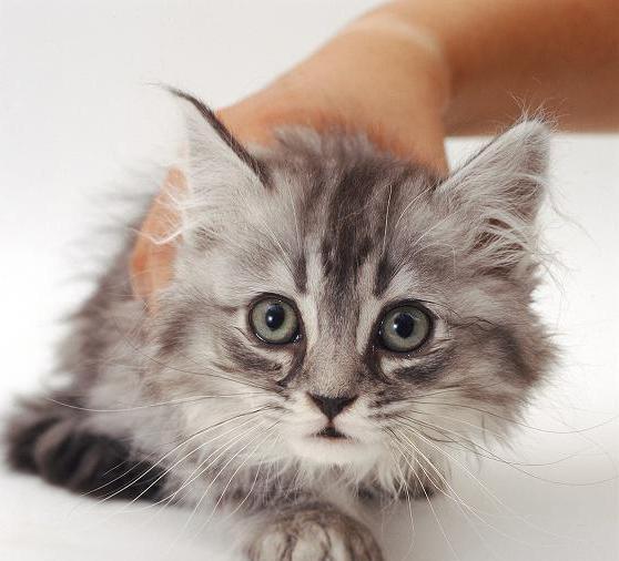 Насморк у кошек: причины и лечение