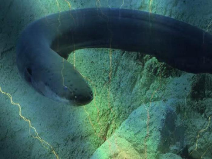 электрическая рыба-змея