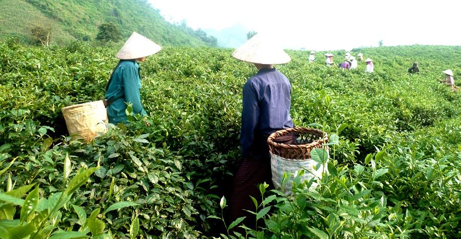Вьетнамские чаи