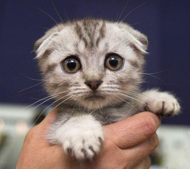 Котенок скоттиш-фолд