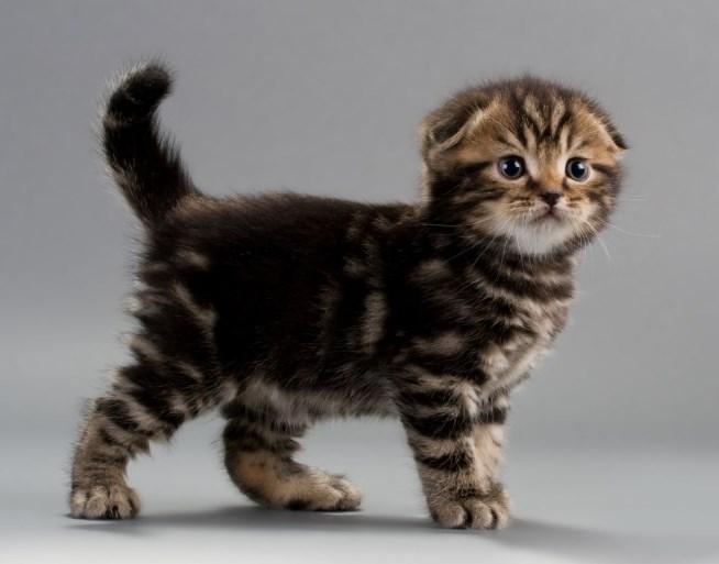 Шотландская вислоухая мраморная кошка