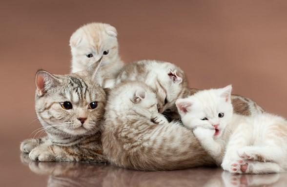 Шотландская вислоухая кошка с котятами