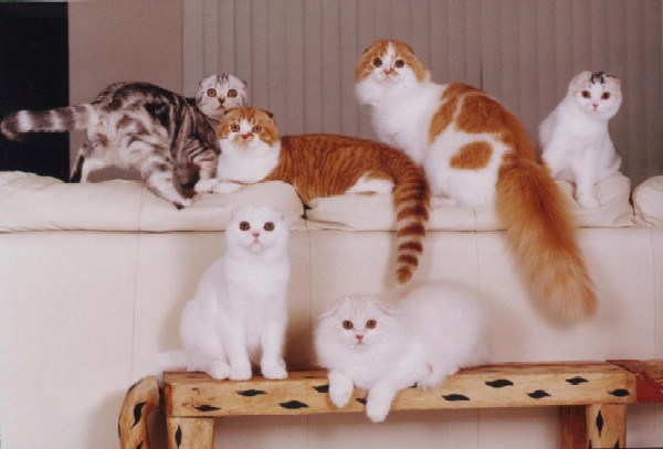 Разноцветные шотландские вислоухие кошки