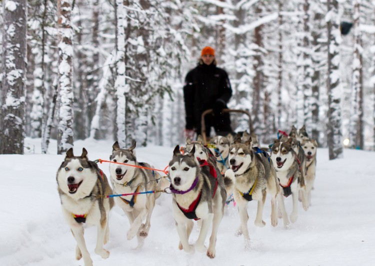 Хаски - порода ездовых собак