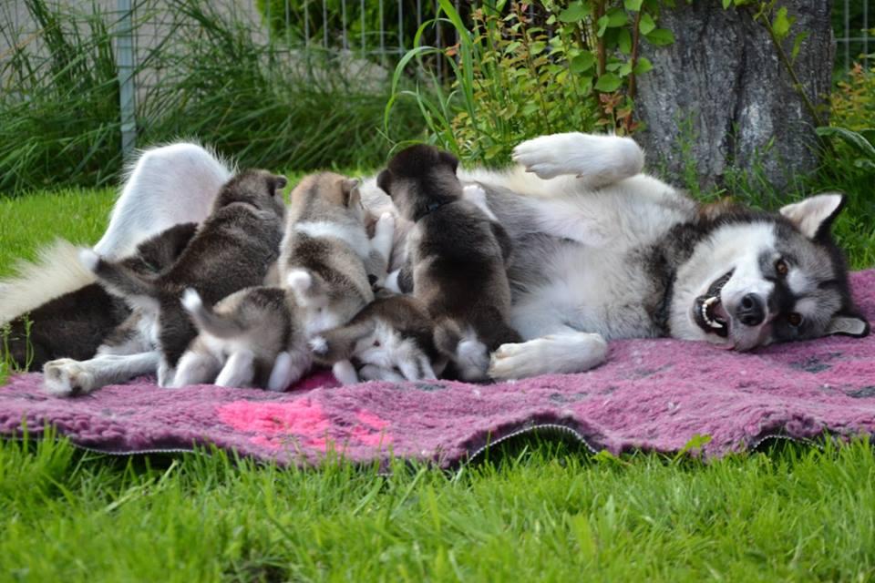 Хаски заботливые мамы