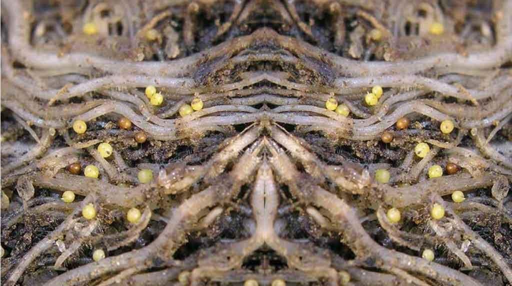 Личинки нематоды