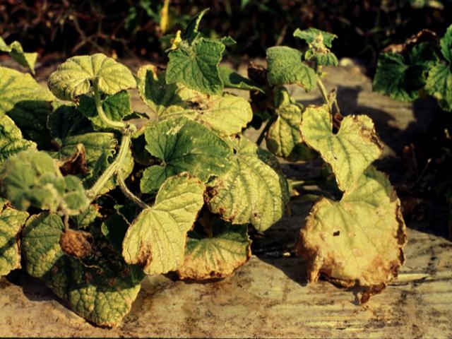 пораженные нематодой листья огурца