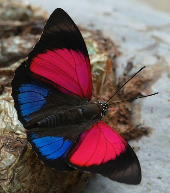 пестрая бабочка