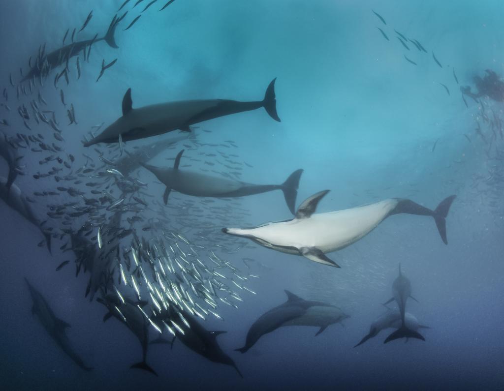 Дельфины на охоте