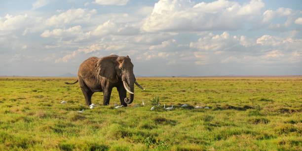 Слон и цапли