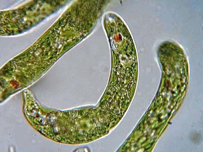 Эвглена - представитель эвгленовых водорослей