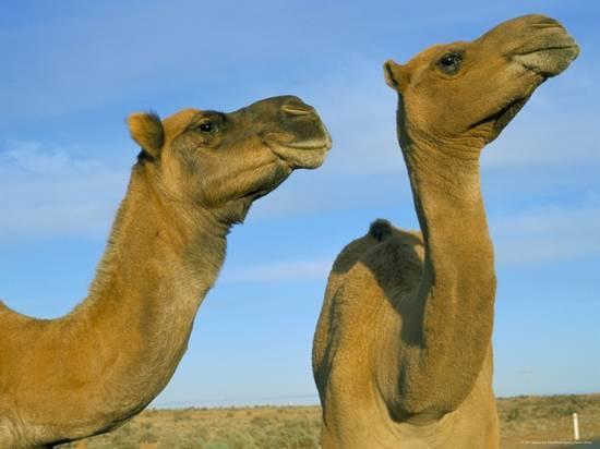 как называется одногорбый верблюд
