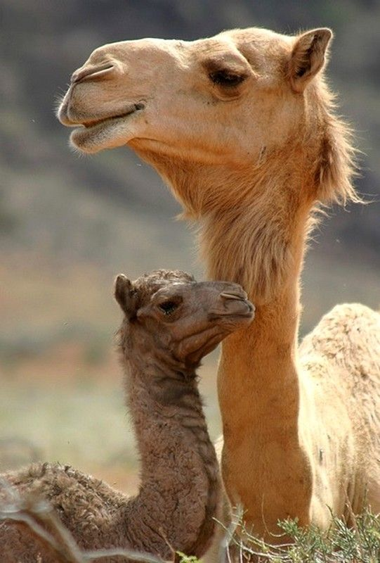 сколько живет верблюд