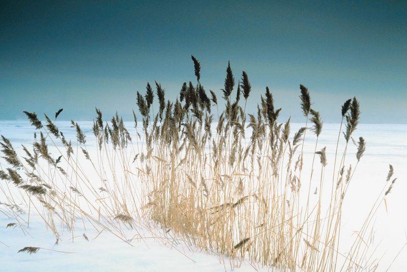 Зимняя пшеница