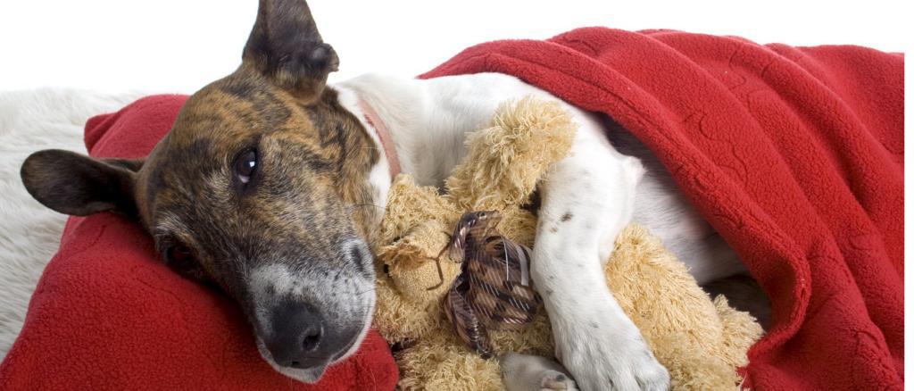 лечение цирроза печени у собак