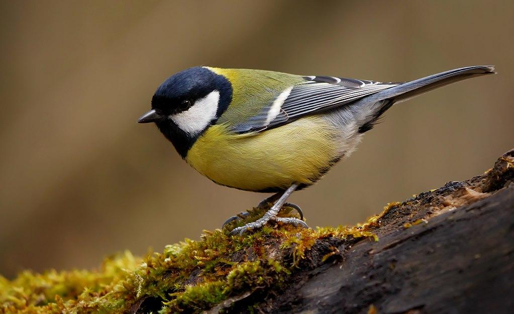 Птички с желтым брюшком: названия, образ жизни
