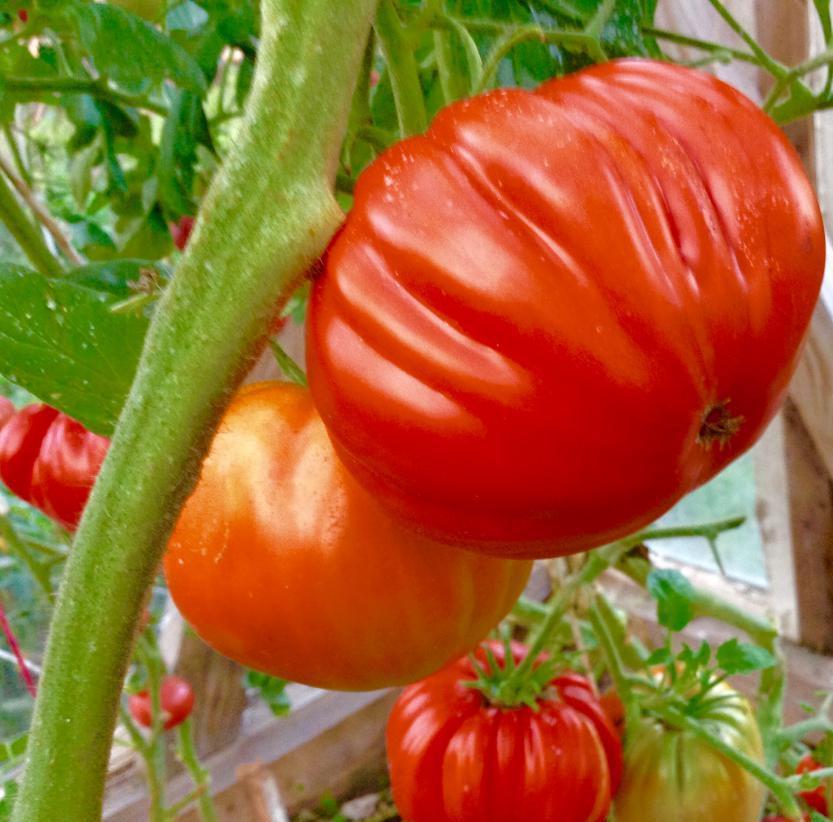 томаты рим отзывы фото