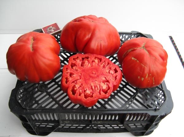 томат рим характеристика