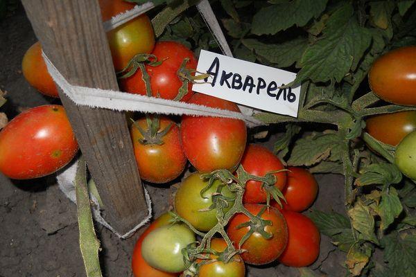 томат акварель описание