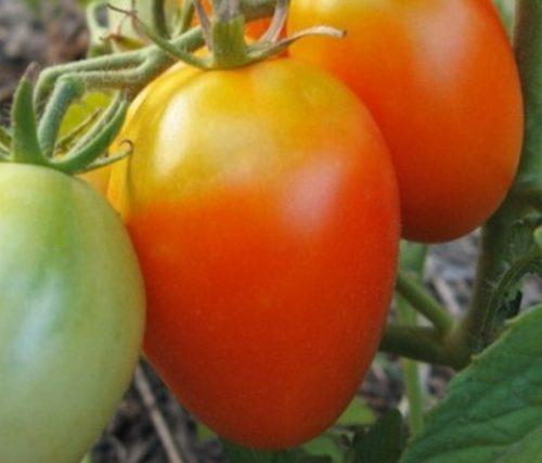 томат акварель отзывы