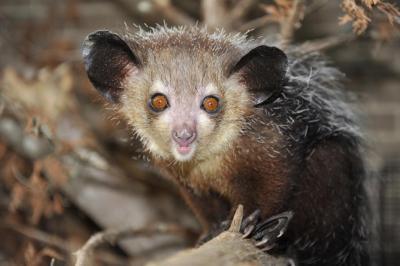 Мадагаскарский Ай-Ай