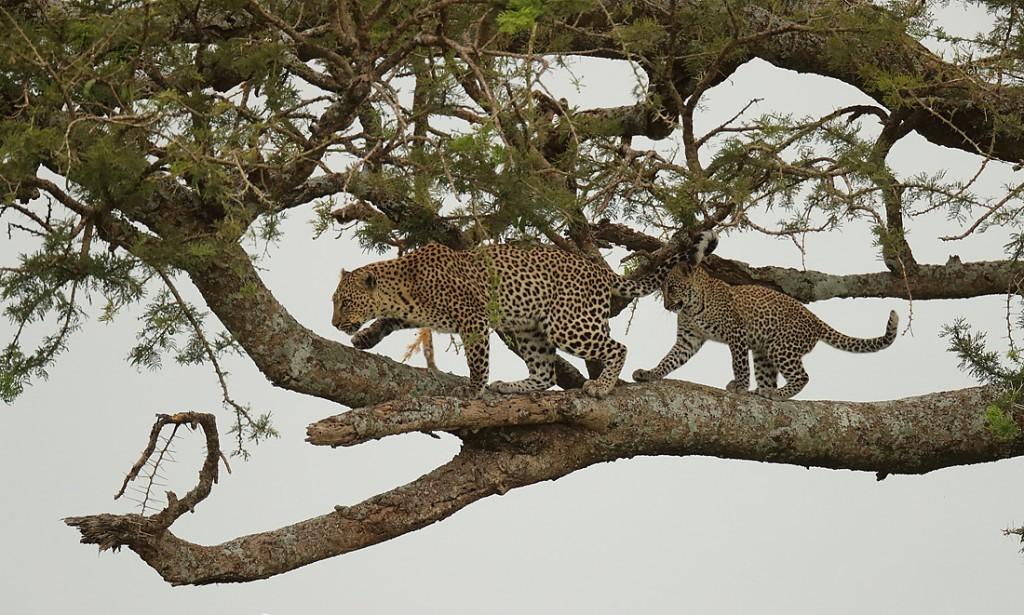 Сколько весит леопард? Где живет леопард? Описание и образ жизни животного в дикой природе