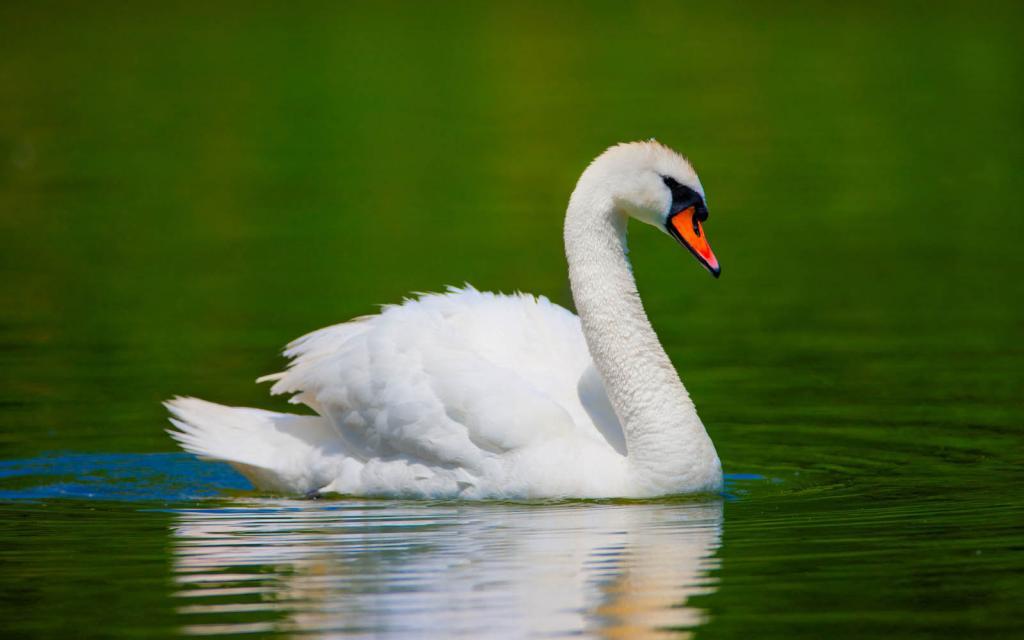 Белый лебедь.