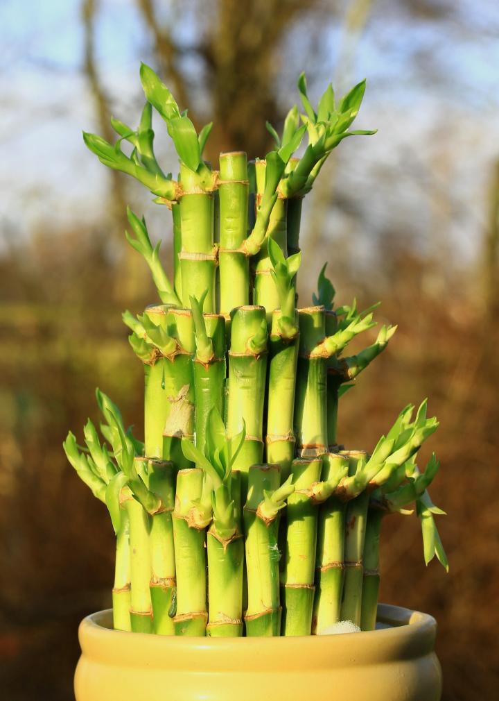 семена бамбука