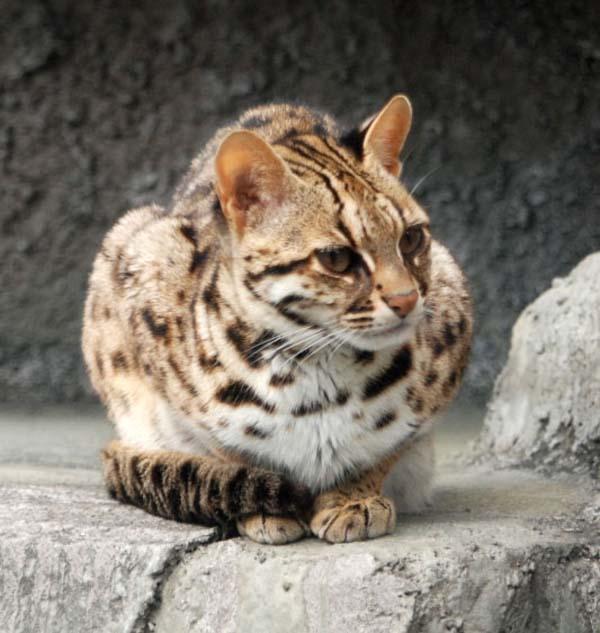 какой корм лучше для бенгальских кошек