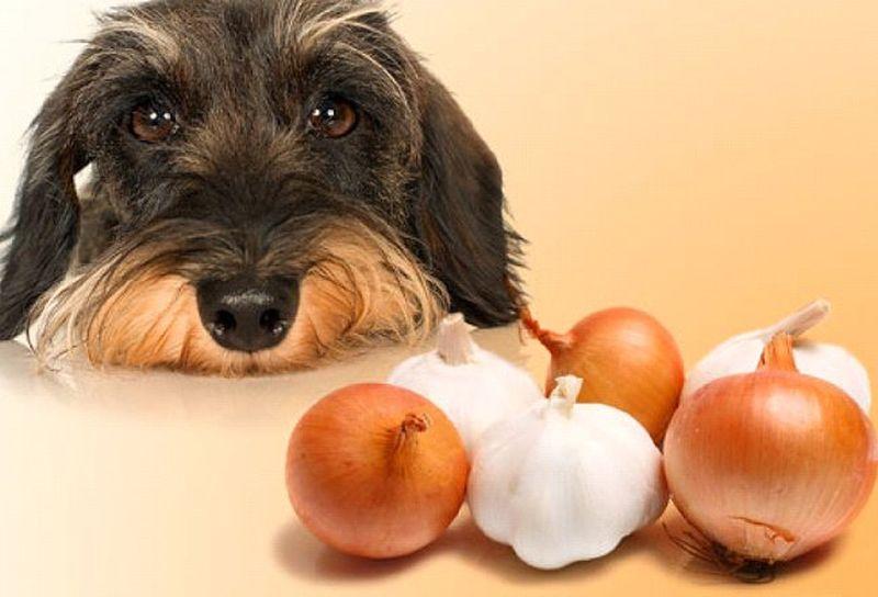 Пес смотрит на лук