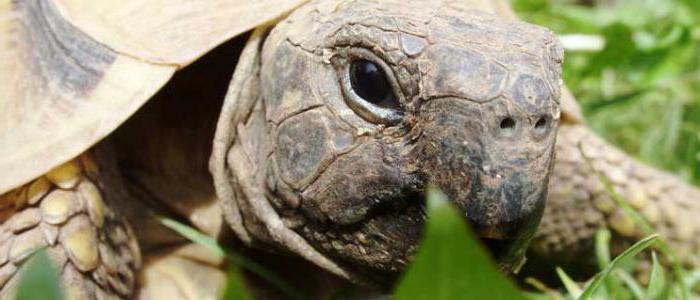 черепаха никольского средиземноморская черепаха