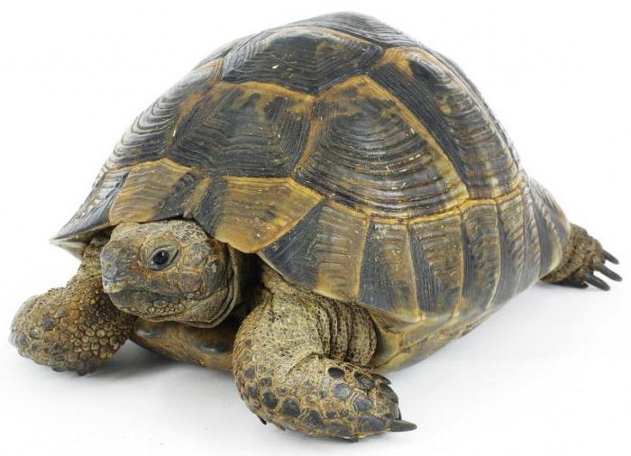 средиземноморская черепаха описание