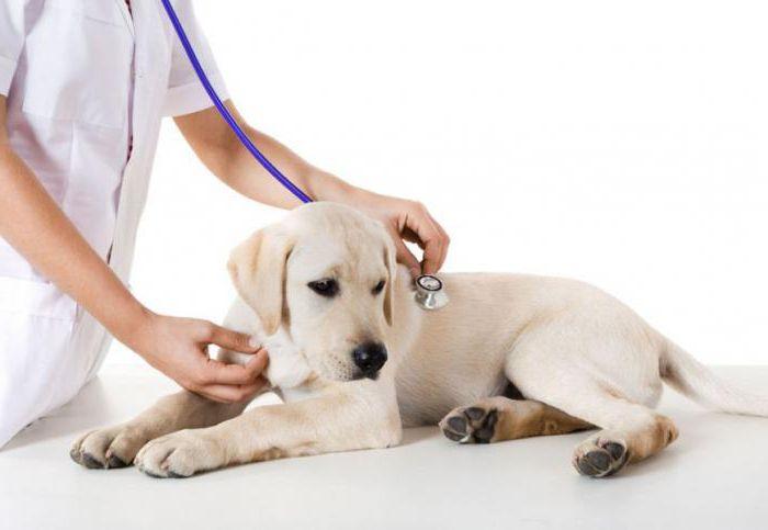 хронический гепатит у собак