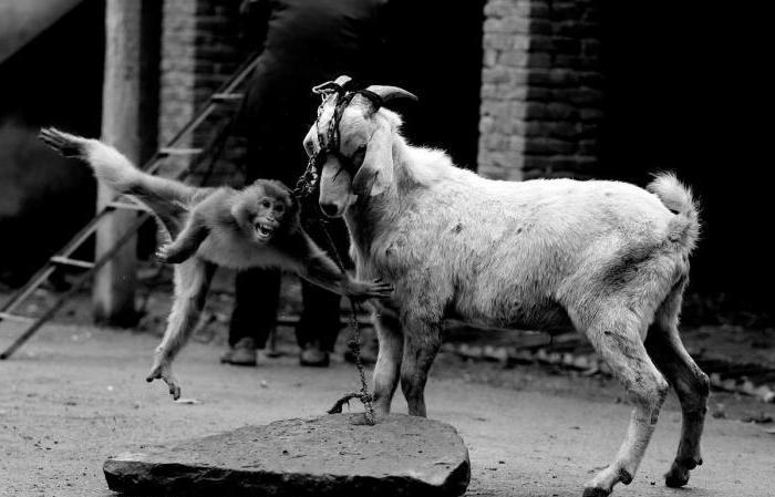можно совместимость мужчина коза женщина коза термобелье