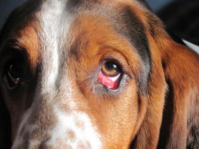 фолликулярный конъюнктивит собак лечение