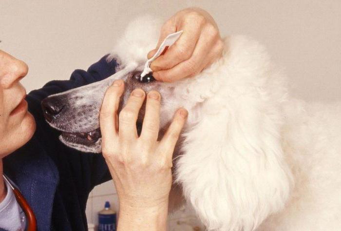 конъюнктивит у собаки лечение народными средствами