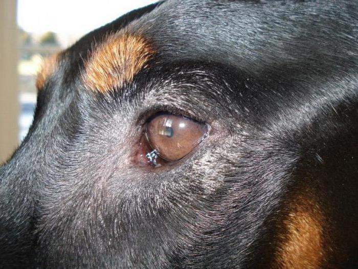 лечение конъюнктивита у собаки
