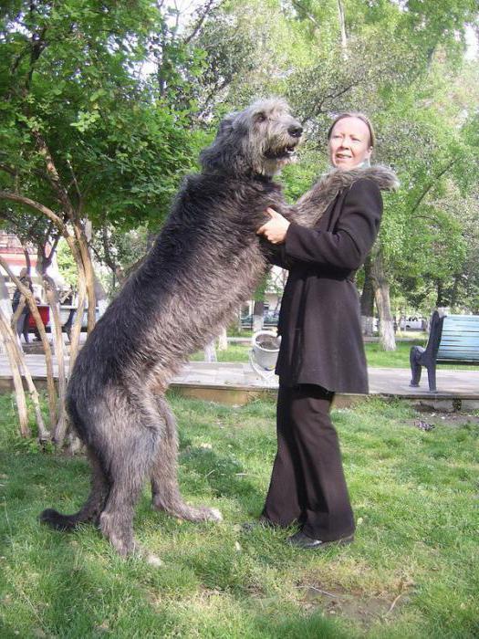 порода собаки немецкий дог