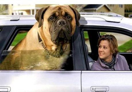Высота собаки в холке