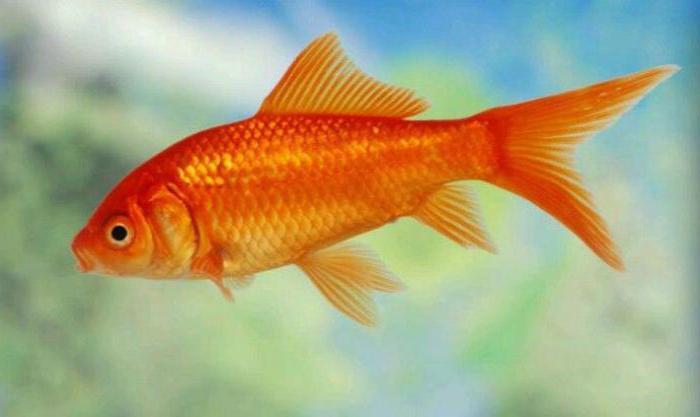 аквариумные рыбки комета