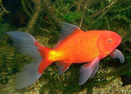 аквариумные рыбки вуалехвост