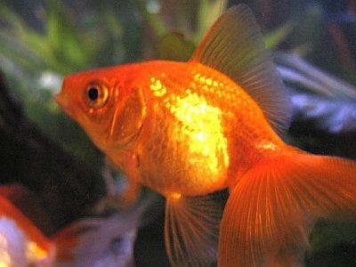 вуалехвост фото аквариумная рыбка