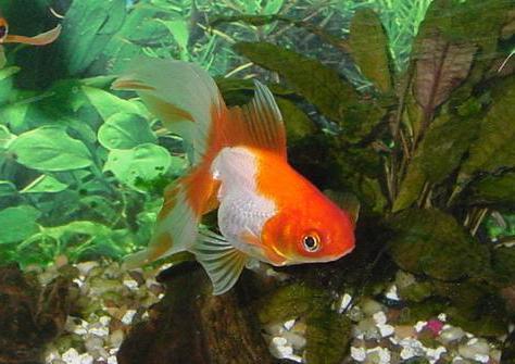аквариумные рыбки вуалехвост описание